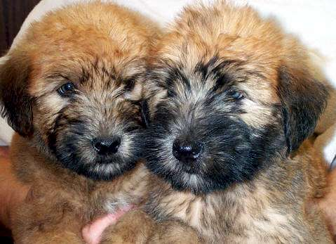 Country Creek Farms Soft Coated Wheatens For Sale